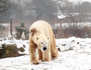 It was perfect weather for polar bears at Yorkshire Wildlife Park (Danny Lawson/PA)