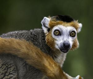 CATEGORY A highly commended - crowned lemur by Geraldine Ennis