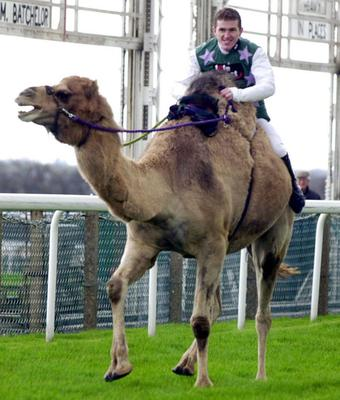 RACING Camel/McCoy...Top jockey Tony McCoy riding a camel at Ascot today, Wednesday April 5, 2000. The race was a trial for the first camel race to take place at the Lambourn Open Day on Good Friday, 21st April. PA Photo....S