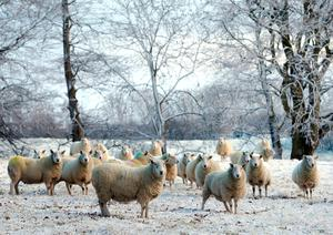 """Sheep in the snow in Ballymena, Co Antrim, as blizzard conditions are set to sweep in, bringing """"a real taste of winter to the whole of the UK"""".  Niall Carson/PA Wire"""