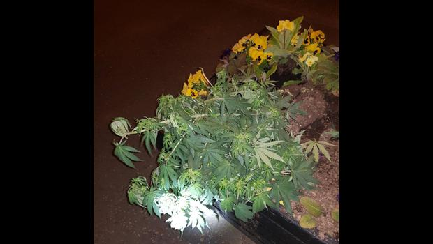 A cannabis plant found in a flower bed in Kells, Co Antrim. Credit: PSNI