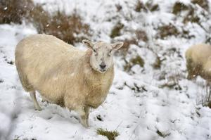 Livestock in the Tildarg road area of Kells as the snow starts to lie. Pic. Stephen Hamilton / Press Eye. December 8 2014