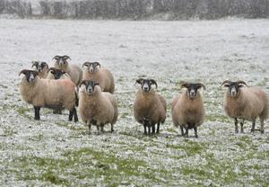 Livestock in the Tildarg road area of Kells as the snow starts to lie. Pic. Stephen Hamilton / Press Eye December 8, 2014