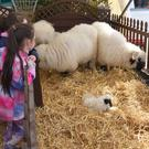 The Valais Blacknose sheep were a star attraction