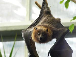 CATEGORY E 2nd prize - Rodrigues fruit bat by Amy Jamison