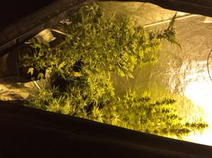 Cannabis plants with an estimated street value of £7,000 and growing equipment were seized during the search.