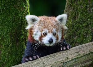 CATEGORY A 1st prize - red panda by Joe Beattie