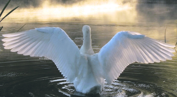 Swans are legally protected under the Wildlife and Countryside Act