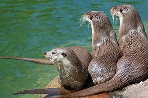 Screen stars: London Zoo has real-time footage on YouTube of three otters
