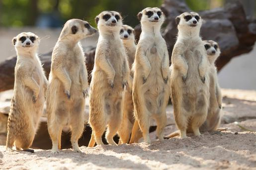 Murderous mammals: a new paper has found the lovable meerkat is one of the most murderous towards its own species.