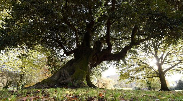Tree of the Year Old Homer is a must-see on a visit to Rostrevor
