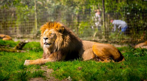 A lion at Belfast Zoo