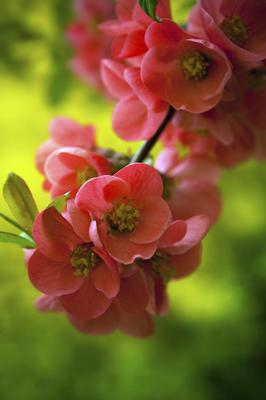 Japanese flowering crabapple