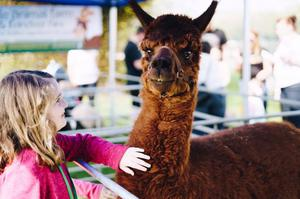 A young visitor with an alpaca