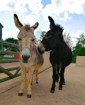 Benjy and Alfie are two donkeys who are close to each other