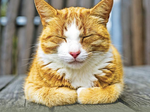 Paws for thought: A ginger tom in classic catnap pose
