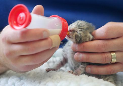 Little wonder: A newborn kitten is handfed