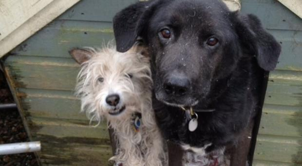 Faithful friends: Alex Kane's pet dogs Scruffy (left) and Bo after a fun time with a cushion