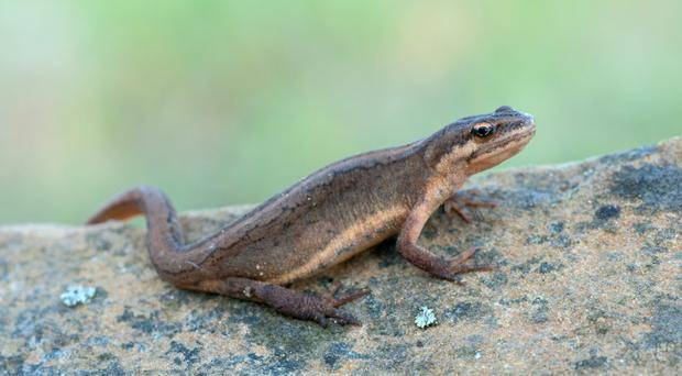 The common smooth newt