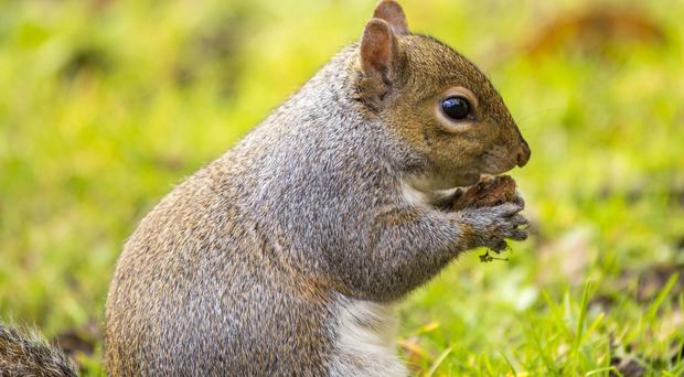 Super Furry Animals: Grey squirrel numbers are on the rise and the rodents can cause havoc in the garden