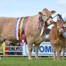 Country cool: pedigree cattle breeder Willie McElroy (standing) and his dad Ivan will be exhibiting their British blond cows