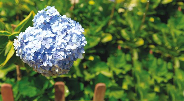 Easy-to-root: Hydrangea is ideal to take softwood cuttings from