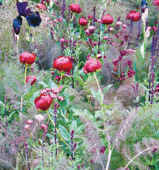 Garden Delight: Paeonia Tenuifolia is a beautiful species that blossoms blood red single flowers