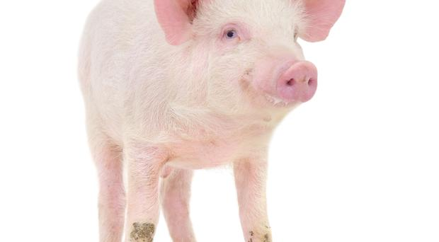 Poor pigs: these intelligent and sensitive animals don't deserve to end up on a huge farm
