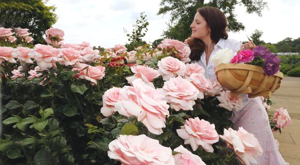 Pretty petals: Roses in the RHS garden in Wisely