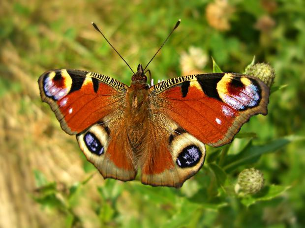 Red alert: butterflies like the Peacock could be faced with extinction
