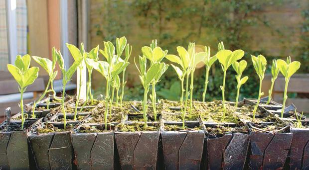A host of salad crops, vegetables and herbs can now be germinated on window sills, ready for the warmer weather to come