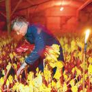 Labour intensive: Deep in Yorkshire's Rhubarb Triangle, David Asquith tends to his crop by candlelight