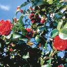 Billow Talk: Camellias make superb hedging