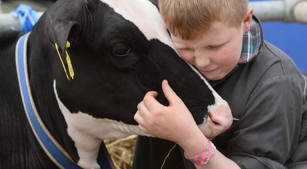 A young exhibitor at the Balmoral Show gets up close and personal with his prize cow as the biggest event in Northern Ireland's farming calendar enjoyed a rare sun-soaked outing this week