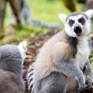 A ring tailed lemur at Belfast Zoo
