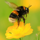 Buzzing around: a campaign has been launched to save our bees