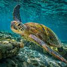Green is good: a green turtle swims through the pristine waters of the Great Barrier Reef