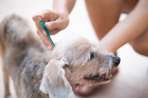 Present danger: A dog being checked for ticks