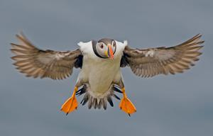 A puffin flies over the island
