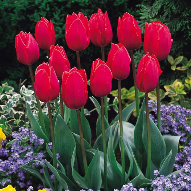 Heaven Sent: Early tulips are looking great