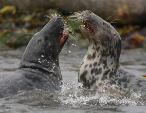 Grey seals make the most of tourist-free time