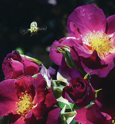 A bee, spoilt for choice of open blooms at this year's Rose Week in Belfast