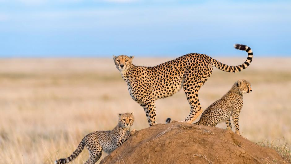 Undated Handout Photo of cheetahs in Kenya's Masai Mara. See PA Feature TRAVEL Call Of The Wild. Picture credit should read: PA Photo/iStock. WARNING: This picture must only be used to accompany PA Feature TRAVEL Call Of The Wild.
