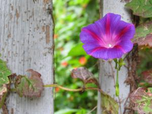 Fence flower