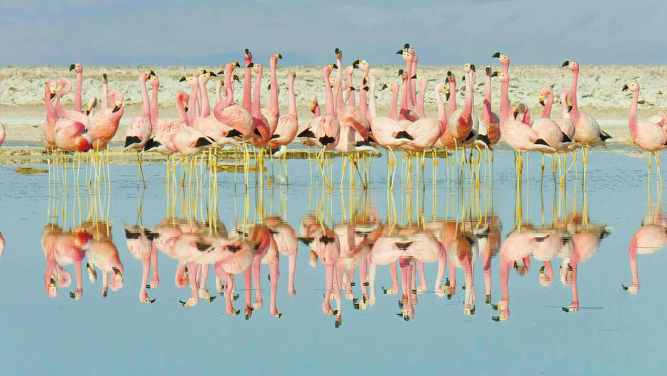 Andean flamingos dance on the salt pans in the Atacama Desert in Chile.