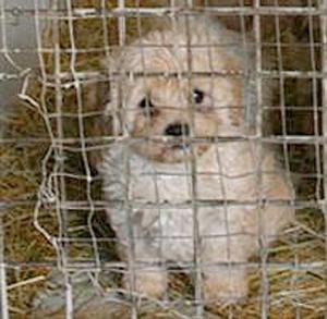 One dog  that was rescued from a Northern Ireland puppy farm
