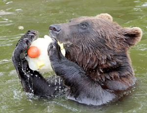 A newly arrived brown bear from Sweden cools down in its pool with a fruit filled ice lolly at Blair Drummond Safari Park near Stirling. May 2010