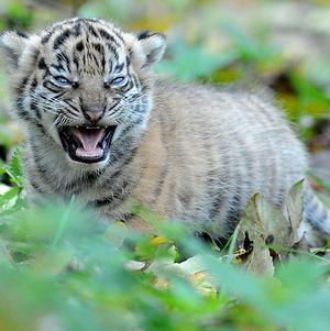 A rare Sumatran tiger has given birth to three cubs in western Indonesia