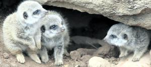 Three of the five baby meerkats born at Belfast Zoo keep an eye out for their mum on one of their first days out of their burrow