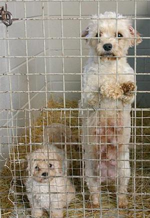 Dogs  that were rescued from a Northern Ireland puppy farm